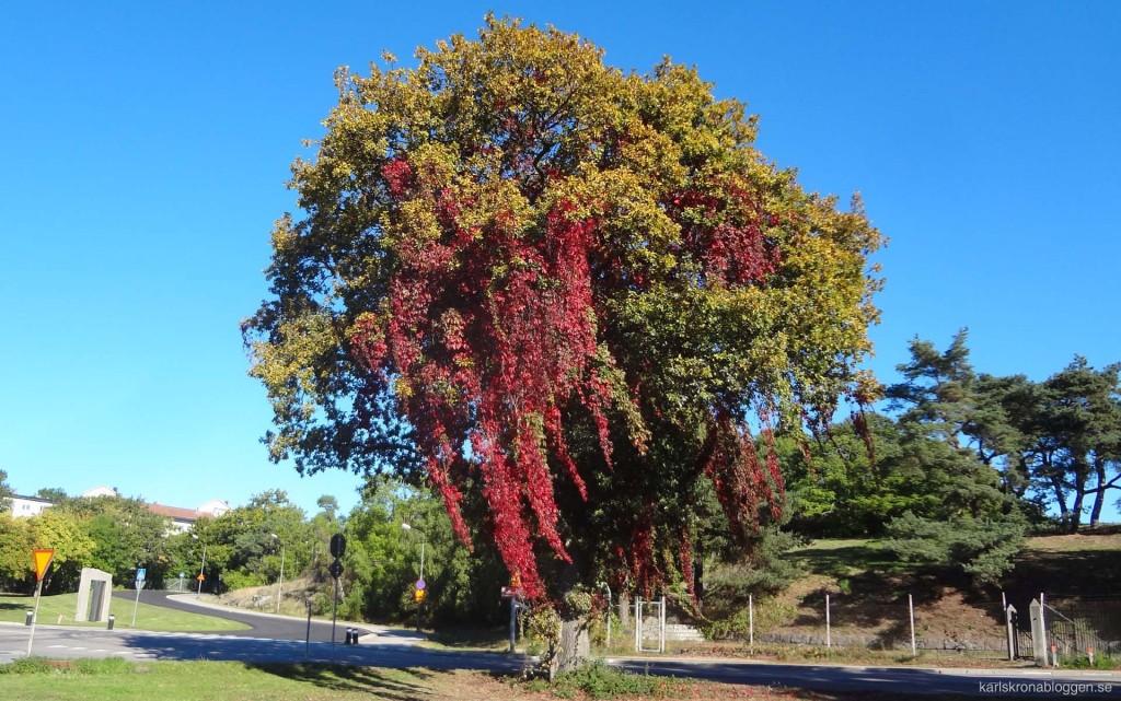 Vackert träd och Kupan