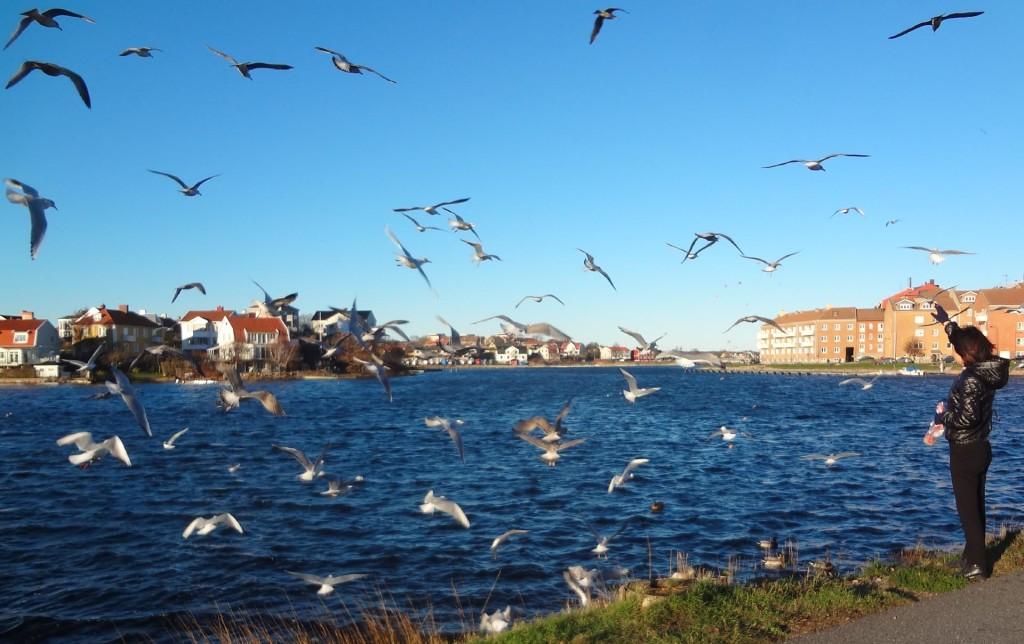 Hungriga fåglar vid Borgmästarekajen