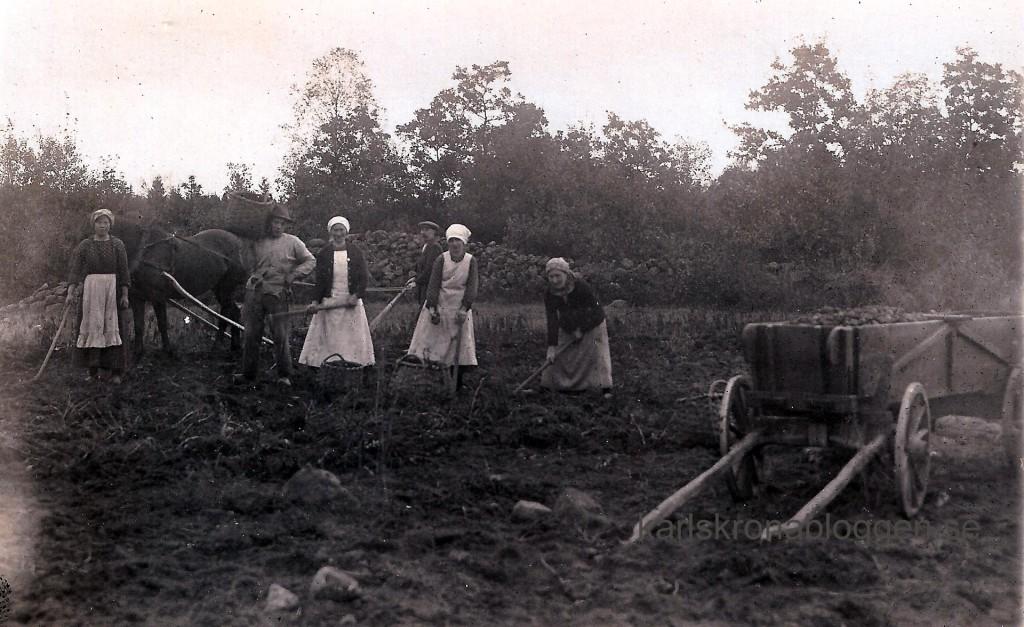 Potatisplockning i Kättilsmåla cirka 1920