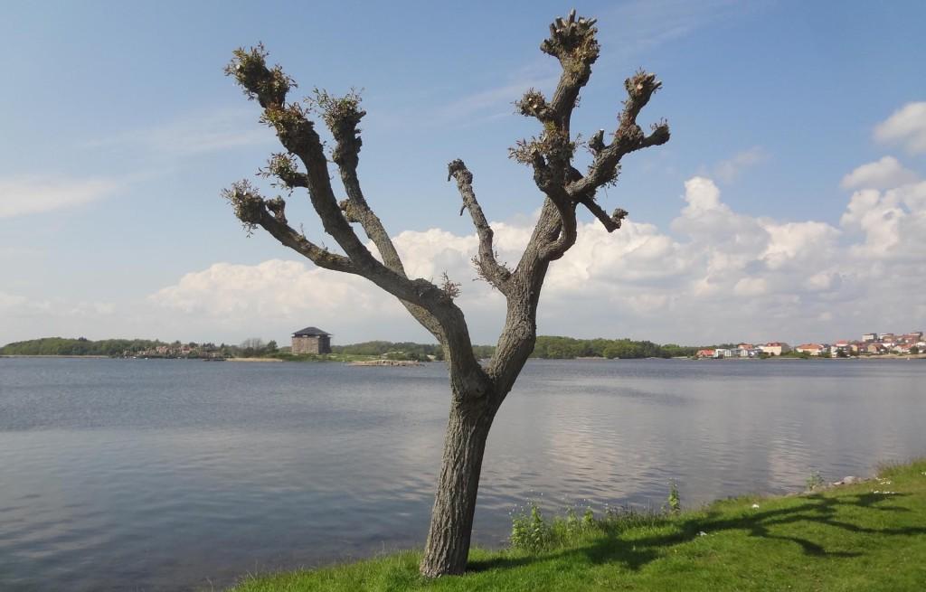 Vackert träd vid Borgmästarefjärden