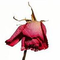 Den röda rosen vissnar...